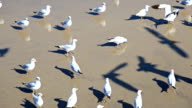 HD:Hear the birds in shallow water. Waiting for food from tourists video