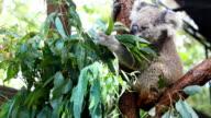 HD:Koala eating some eucalyptus leaf. video