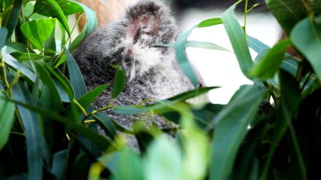 HD:Koala eating some eucalyptus leaves. video