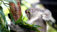 HD:Koala eating some eucalyptus leaves. video