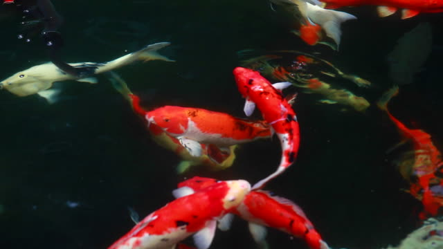 HD:Koi Carps Fish Japanese swimming (Cyprinus carpio). video