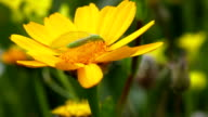 HD:Lacewing and yellow flower close-up video