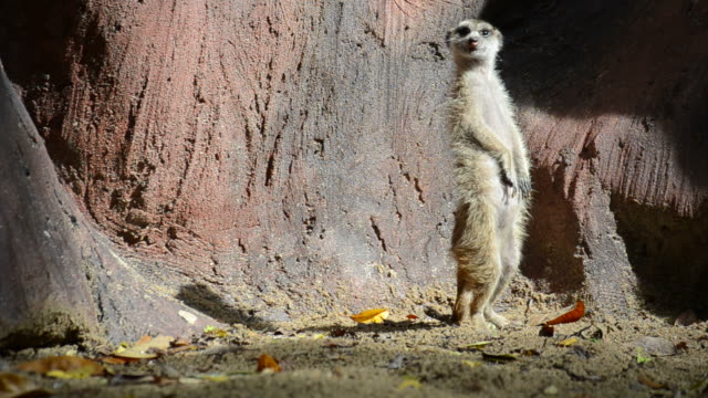 HD:Meerkat animal in wildlife sanctuary video