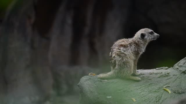 HD:Meerkat animal in wildlife sanctuary video