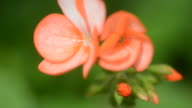 HD:Orange geranium flower close up video