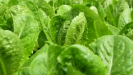 HD:Organic Hydroponic green leaf lettuce vegetables plantation in aquaponics system. video