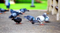 HD:Pigeon seek for food at the park. video