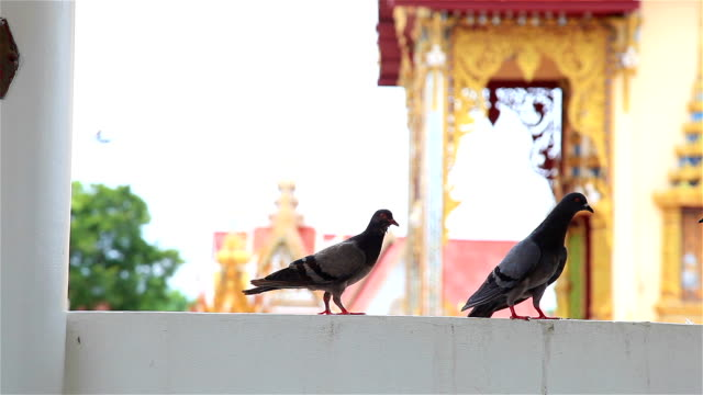 HD:Pigeons come and walk on the balcony. video
