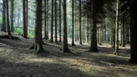HD:Pine tree forest,tollymore park,Northern Ireland video