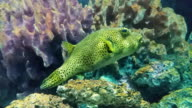 HD:puffer fish. video