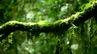 HD:Rain forest.(Panning shot) video