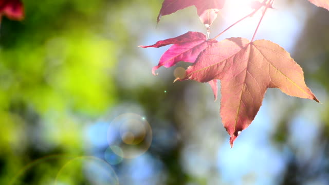 HD:Red maple leaves on green leaf background video
