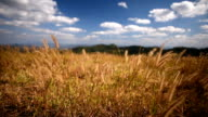 HD:Ripe wheat field Yellow field and beautiful cloudy with blue sky on mountain video