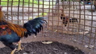 HD:Rooster in the cage. video