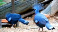 HD:Victoria crowned pigeon (Goura victoria). video