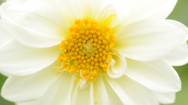 HD:White flower close up background video