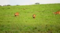 HD:Wildlife Sanctuary with Goitered Gazelle video