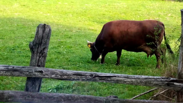 Healthy Cow eating grass, ecological environment, panning video