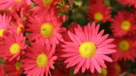 HD DOLLY: Healthy Echinacea video