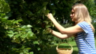 healthy girl pick linden flowers herbs from tree branches to basket video
