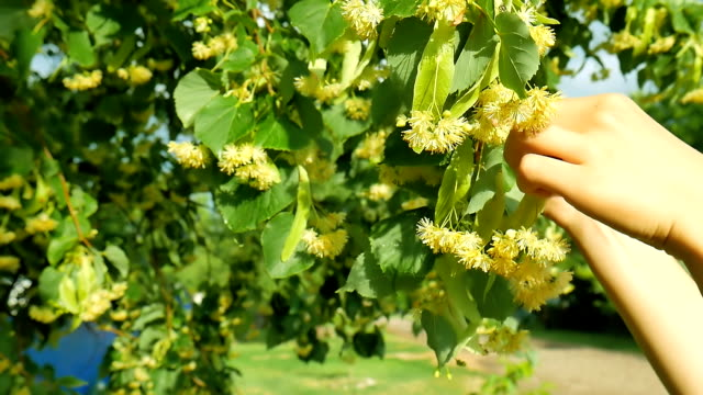 healthy girl pick linden flowers herbs from tree branches . video