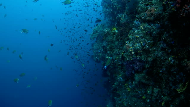 Healthy reef with lots of coral fish video