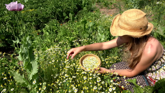 healthy woman pick camomile herb flowers in rural house yard. FullHD video
