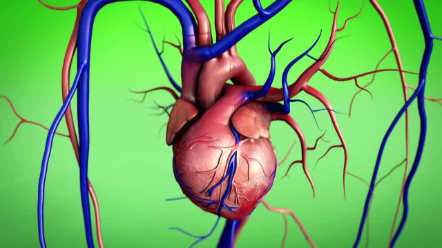 heart, human heart video