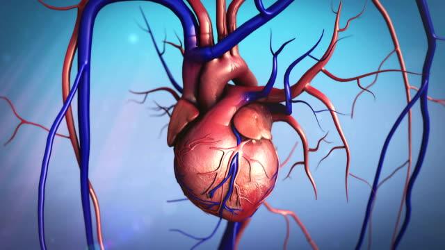 heart model video
