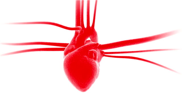 Heartbeat animations with veins and arteries video