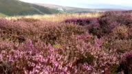Heather Bushes On Top Of A British Hill video