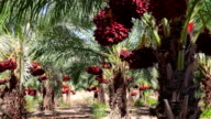Heavy crop at Date plantation video