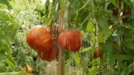 HD SLOW MOTION: Heavy Rain Falling On Tomatoes video