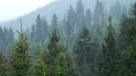 Heavy rain in mountain pine forest video