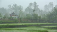 Heavy tropical rain storm over rice paddy in Asia video