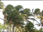 Heavy winds in Palm trees. video