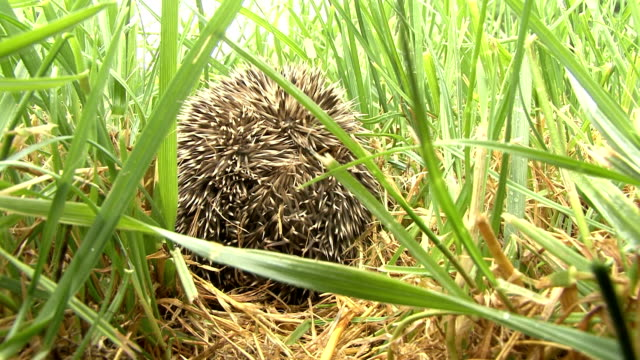 hedgehog curled up in to a ball on the grass video