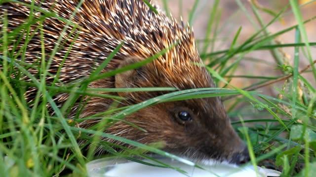 Hedgehog drinks milk video