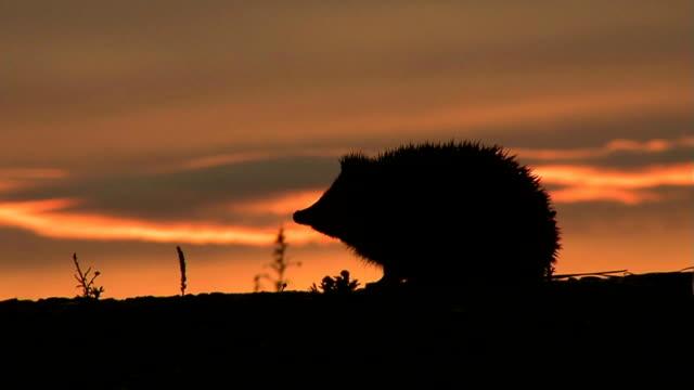 Hedgehog Evening video