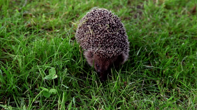 Hedgehog hunting for insects video