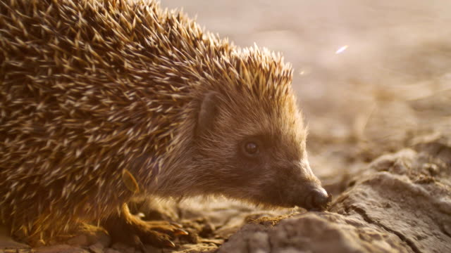 hedgehog in dry ground, sunset time video