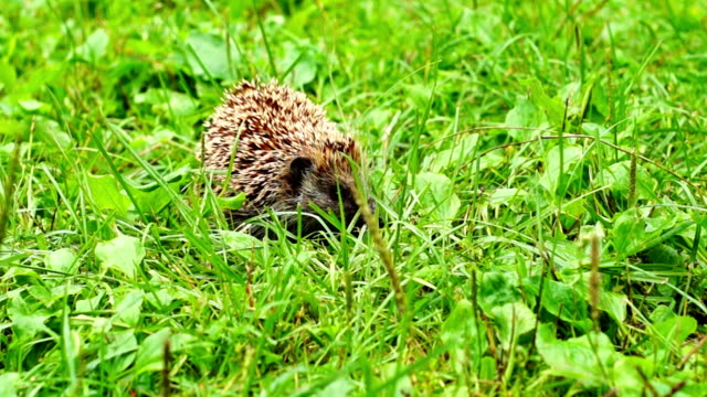 Hedgehog in grass video