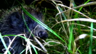 Hedgehog in the grass at night. Were snorting and sniffing the camera. video
