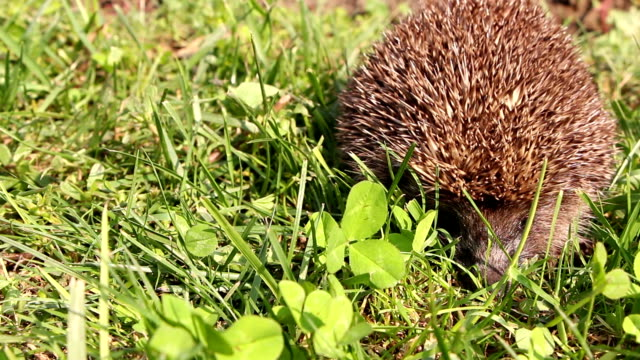 Hedgehog is walking and sniffing in the grass at summer, red apples around video