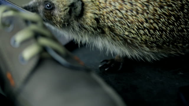 Hedgehog sniffs male shoes, gets acquainted with new situation video