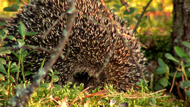 Hedgehog video