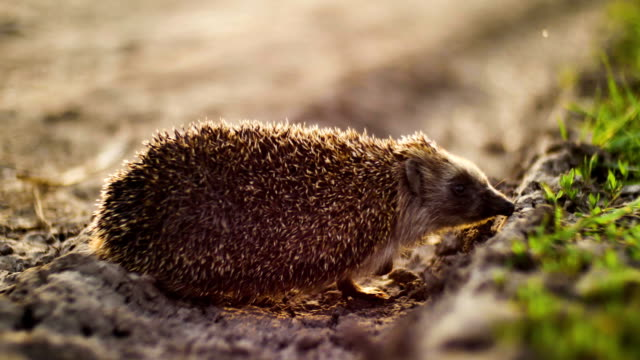 hedgehog walking from dry ground to green grass in sunset time video