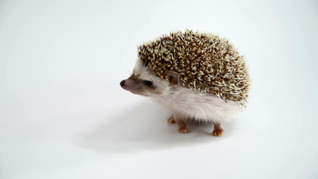 A hedgehog walking over white background. video