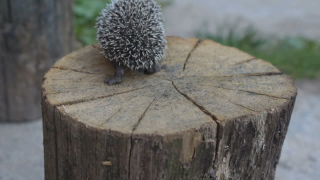 Hedgehog walks on wooden stump video
