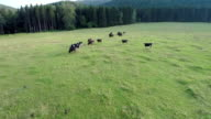Heli aerial fly over shoot of black cows video